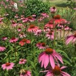 herbal immunity booster echinacea