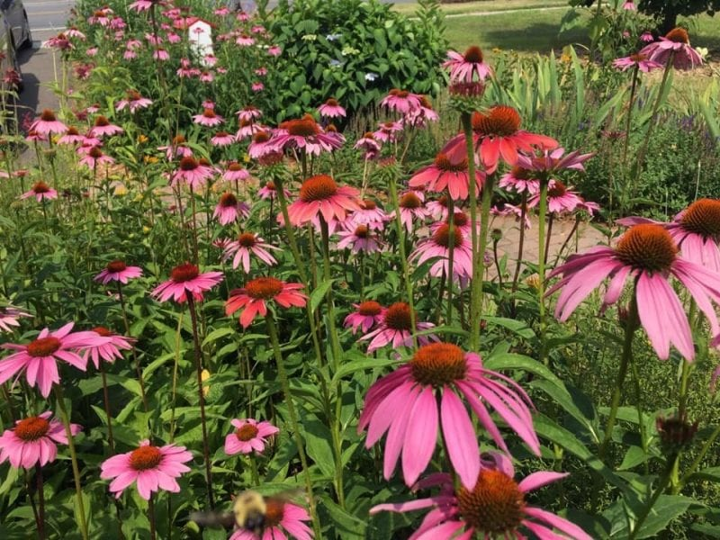 herbal immunity booster echinacea