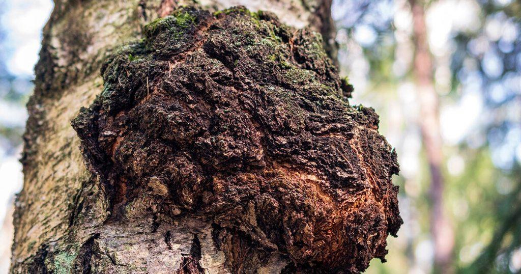 Chaga Mushroom on a tree