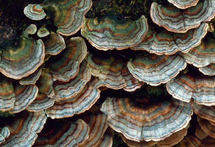 Turkey Tail Mushroom benefits